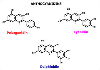 Pigment structure of Anthocyanidin
